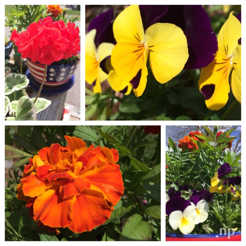 Marigolds_Pansies